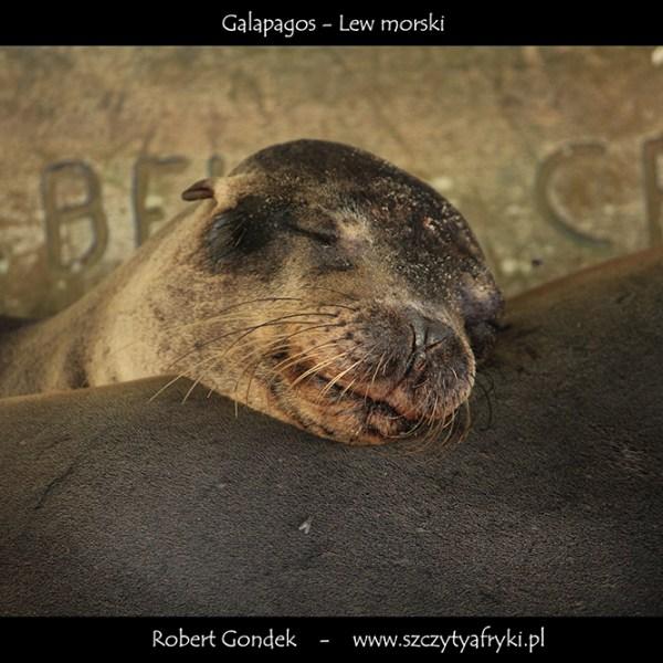 Zdjęcie lwa morskiego z Galapagos