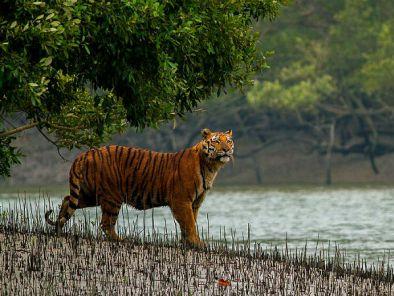 Royal Bengal tiger, Sundarbans, Bangladesh Forrest, Otter Fishing