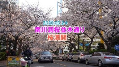 釜山南川洞桜木通りは満開!