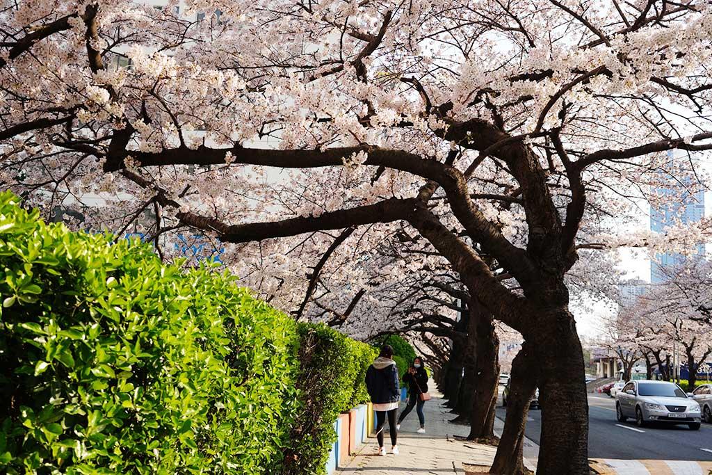 南川洞桜並木通りで写真撮影しています。