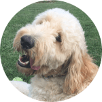 goldendoodle-dog-puppy-love