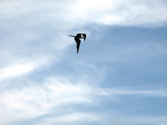 frigate bird belize