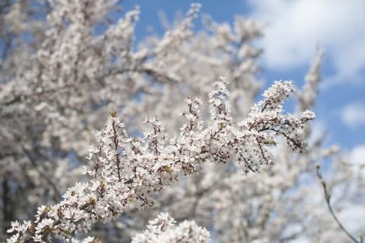 bloeiende boomtakken in de lente