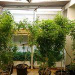 Ocupan invernadero de marihuana y dinero en Canóvanas