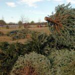 Anuncian reciclaje de árboles de navidad en Río Grande
