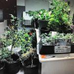 Ocupan 76 plantas de marihuana en residencia abandonada en Gurabo