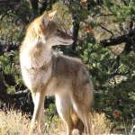 coyote at zion