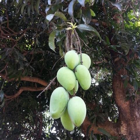 Green Carabao Mangoes on Tree