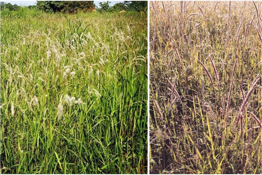 ningas cogon meaning