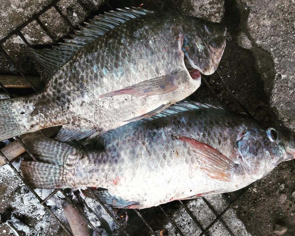 Tilapya tagalog to english dictionary online for Fishing for tilapia
