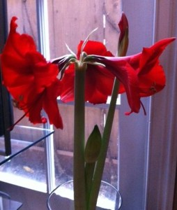 bloomingamaryllis