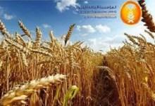 """صورة """"الحبوب"""" تنتهي من ترسية الدفعة الخامسة من القمح المستورد لهذا العام"""