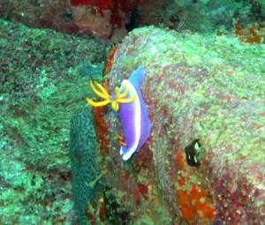 Nudibranch at Tenggol