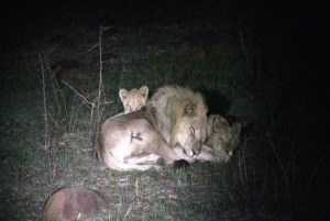 Male and 2 cubs