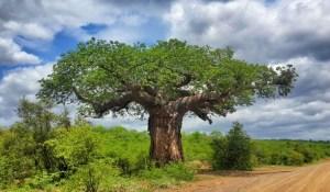 Old baobab tree