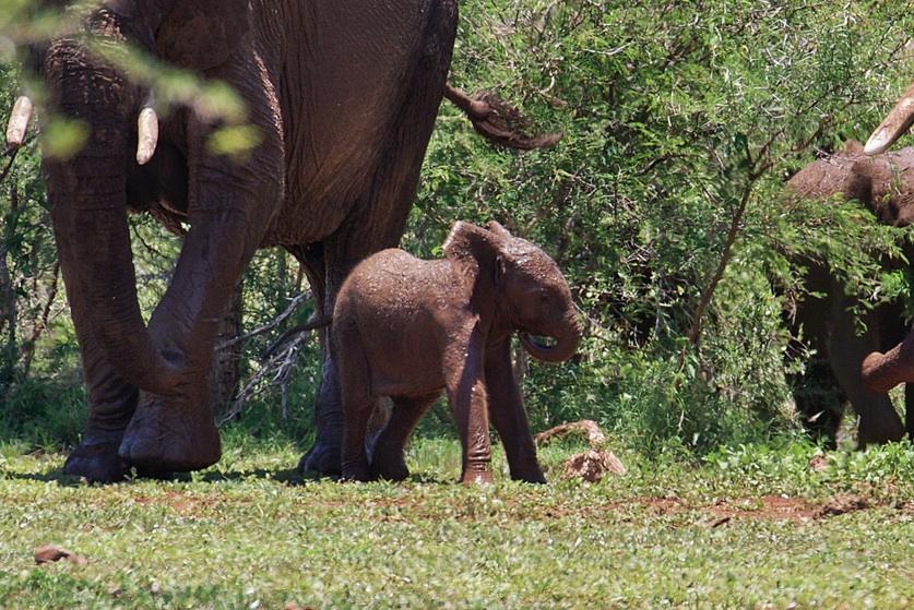 Tiny elephant calf