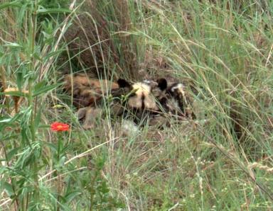 African wild dogs sleeping
