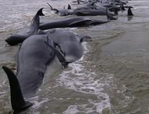 Nouvel échouage massif de globicéphales en Nouvelle-Zélande