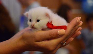 Uluslararası Pursaklar Kedi Güzellik Festivali