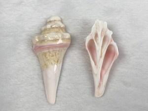 Spiral Core Queen Conch Loose Piece - Per Pair