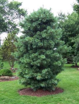 Сосна кедровая корейская Сильверей Pinus koraiensis Silveray