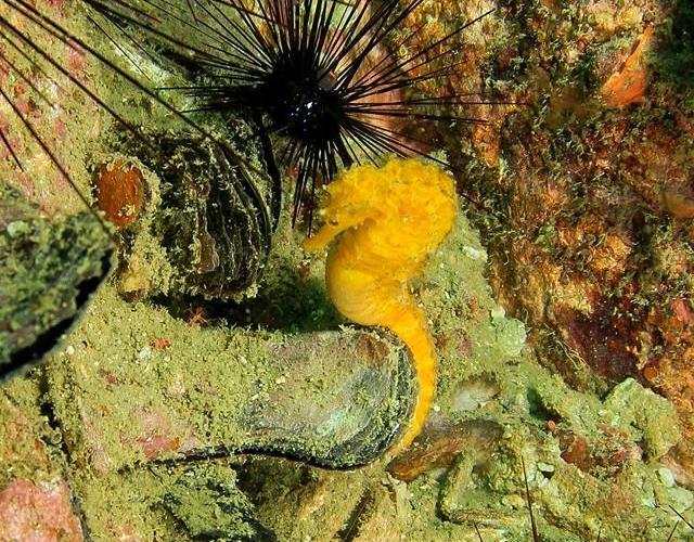Jūrų arkliukas Andamanų jūroje