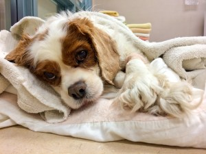 Cavalier King Charles - Mass Removal (4 of 4)