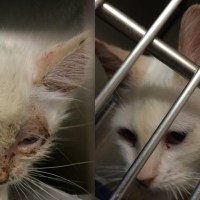 Emaciated Kitten with Hairloss and URI Makes a Remarkable Recovery
