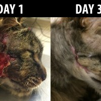 Cat with Huge Abscess on Face - Before & After