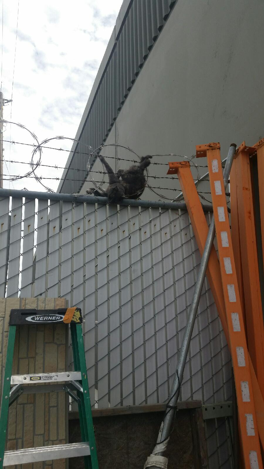 Feral Cat Stuck in Razor Wire — Tails of a Shelter Vet