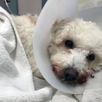 Dog Disembowels Itself, Found Bleeding Out - Veterinarian Attempts Life Saving Surgery - Resection and Anastomosis - San Jose Animal Shelter