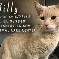 Cuddly Orange Tabby Cat with Deep Infected Wound on Shoulder and Head