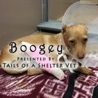 Boogey - Homeless Chihuahua Living on Streets San Jose Broken Leg Amputated Shelter Vet