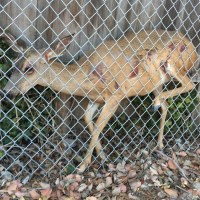Officers Rescue Deer Trapped in Fence