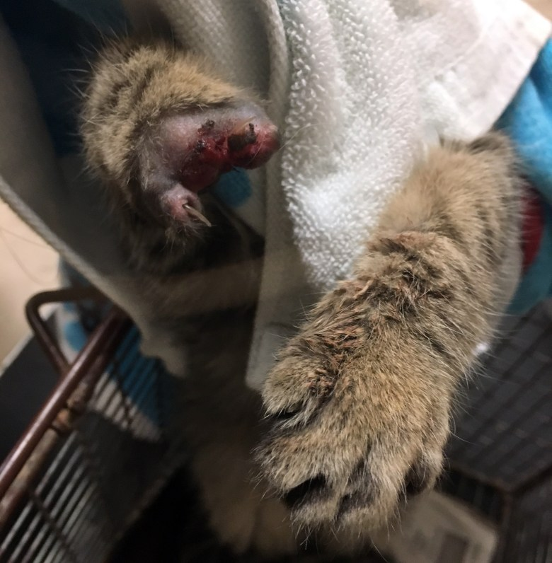 Kitten's Paw Traumatically Amputated by Trapper T-Rex Trap