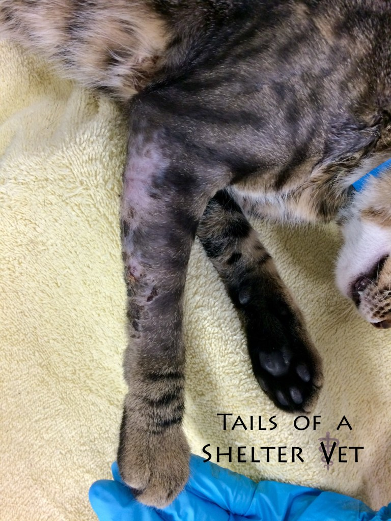 Cat Roughed Up Over the Weekend Draining Abscess Right Front Leg