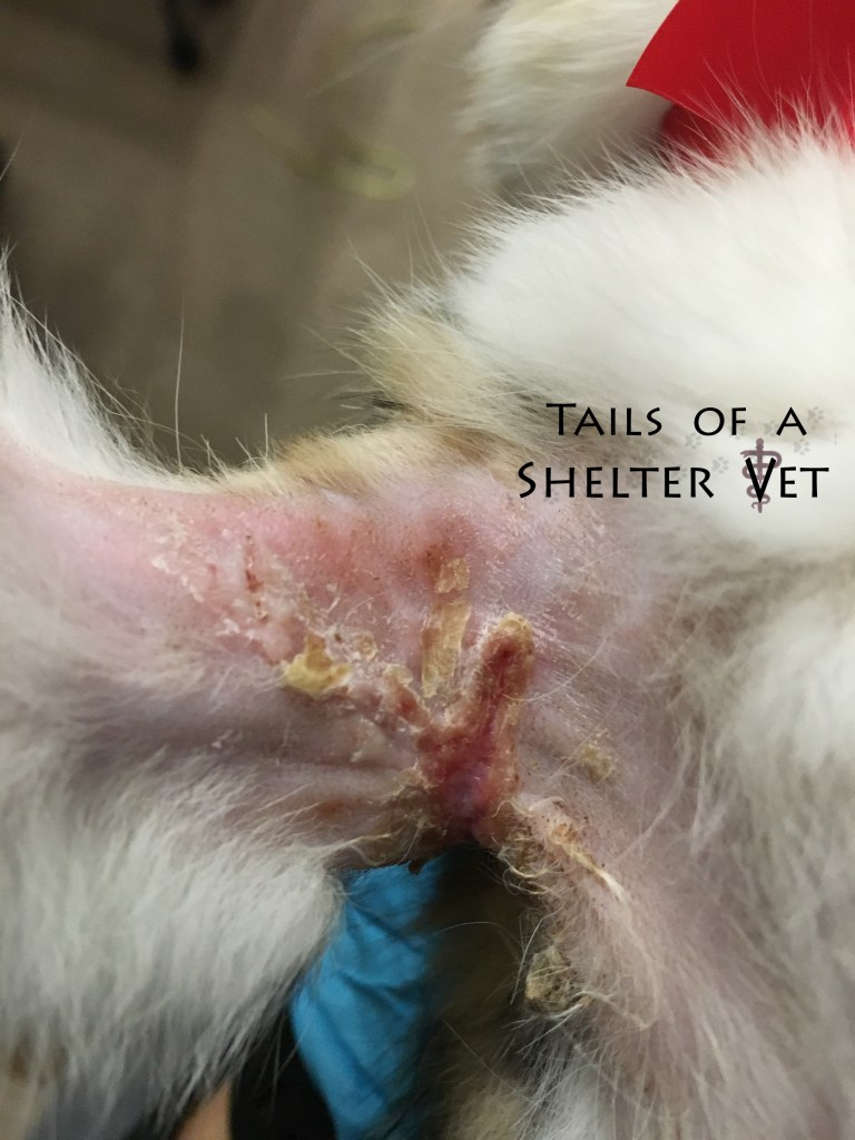 Animal Shelter Kitten Found with Leg Caked in Pus Axillary Wound Axilla Infected