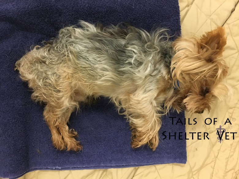 Obstipated Yorkie and the Glamorous Life of a Vet Veterinarian Defecate, Straining, Pooping, Stool, Hernia, Perineal, Herniated, Constipated Enema