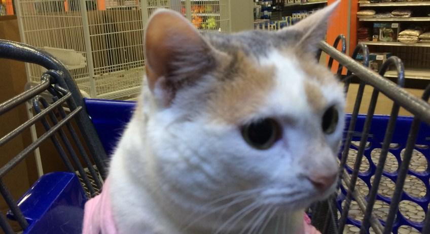 Kali-Ma the Cat Shopping