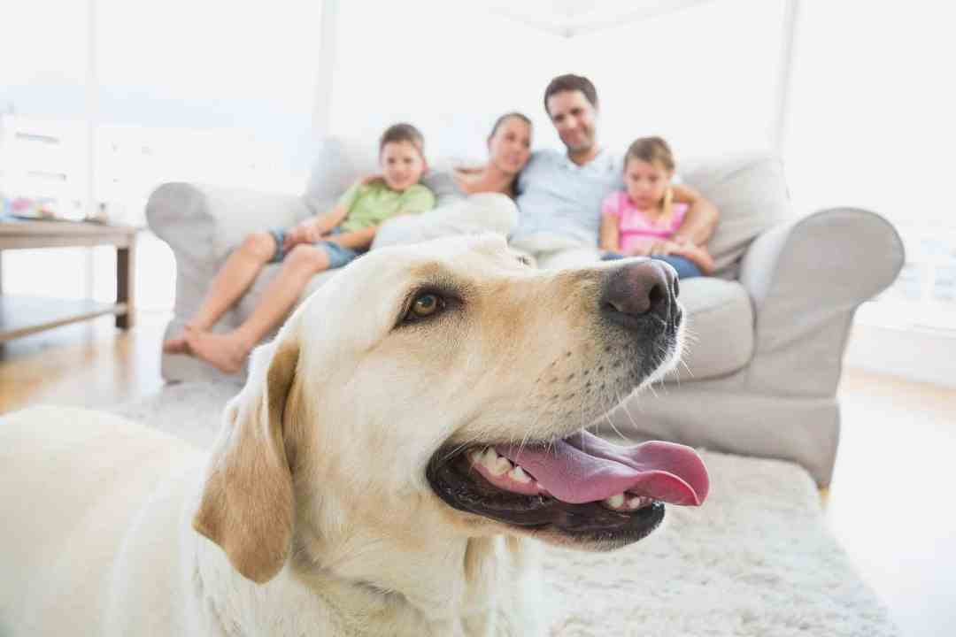 labrador with good life skills spending time with his family in the living room