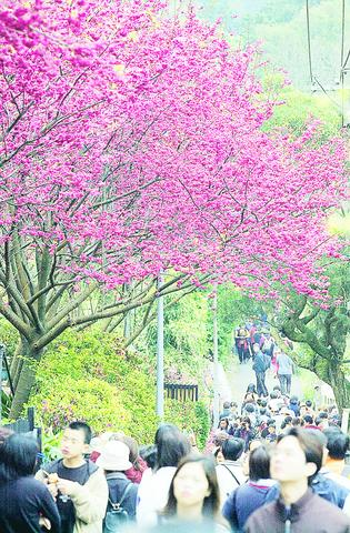 (Photo, courtesy of TAIPEI TIMES, by George Tsorng)  Visitors flock to Yangmingshan National Park Sunday, February 16, the first day of this years flower season, to see the cherry blossoms and get a breath of fresh air.