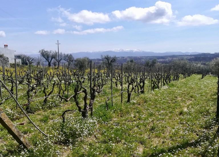 vineyard and Estrella mountains