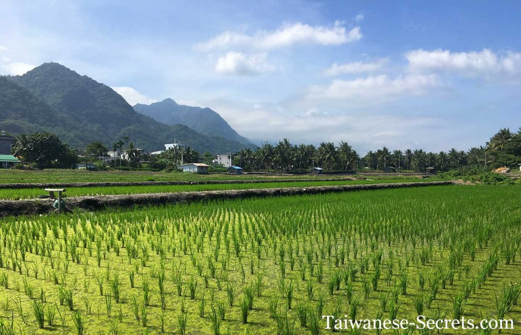 rice field in taitung county