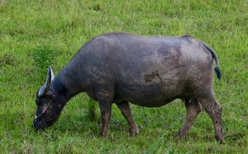 taiwan water buffalo