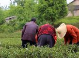 Group of tea pickers on the first day of Spring picking in Huangshan, Anhui.