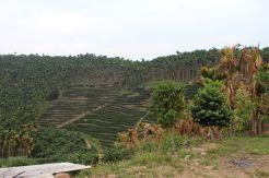 Tea plantation in Yuchi Township, Taiwan