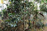 Shancha wild mountain tea shrub, Yuchi, Taiwan