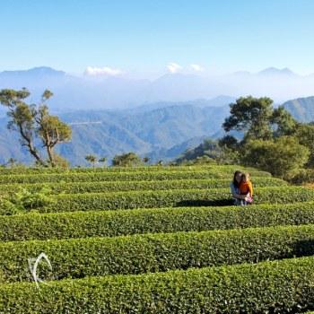 Jin Xuan Tea Bushes at the Beishan Tea Garden in Taiwan