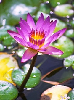 Energy Medicine - Water Lily
