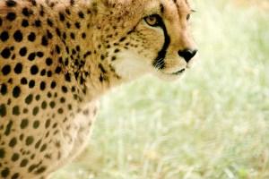 cheetah-831572_640